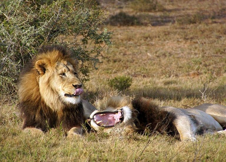 Leeuwen kan je ook tegenkomen tijdens de motorreis door Zuid-Afrika van Travel 2 Explore