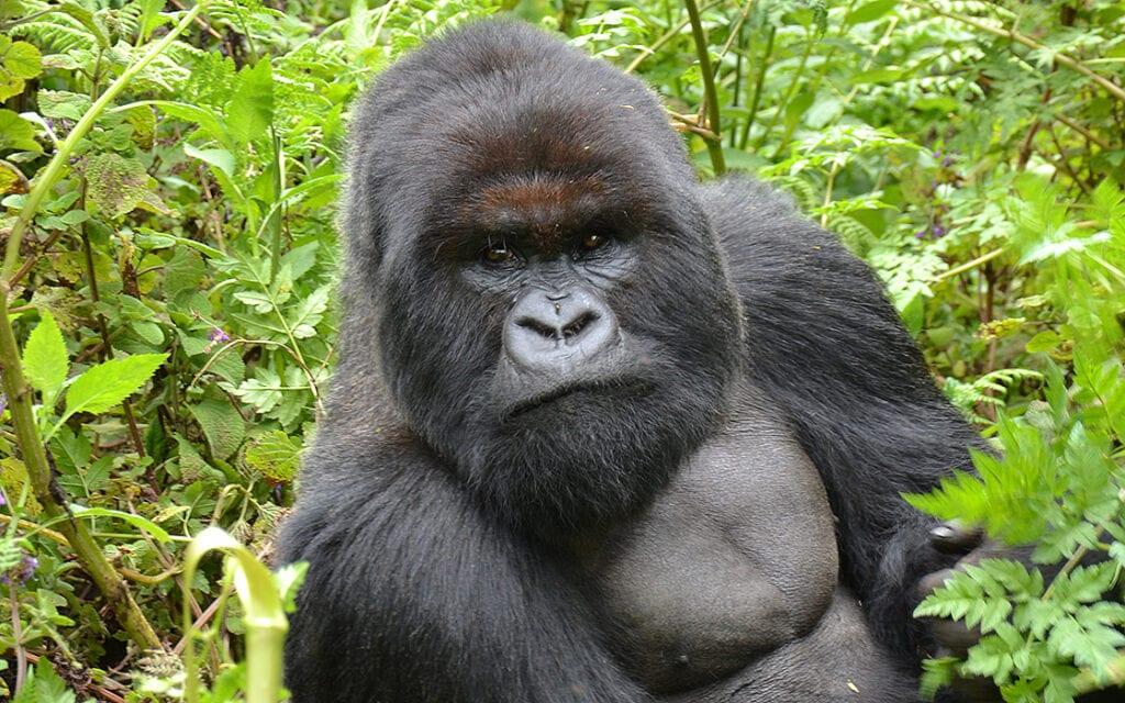 Tijdens de Rwanda motorreis in Afrika zullen we ook de berggorilla's in Virunga bezoeken