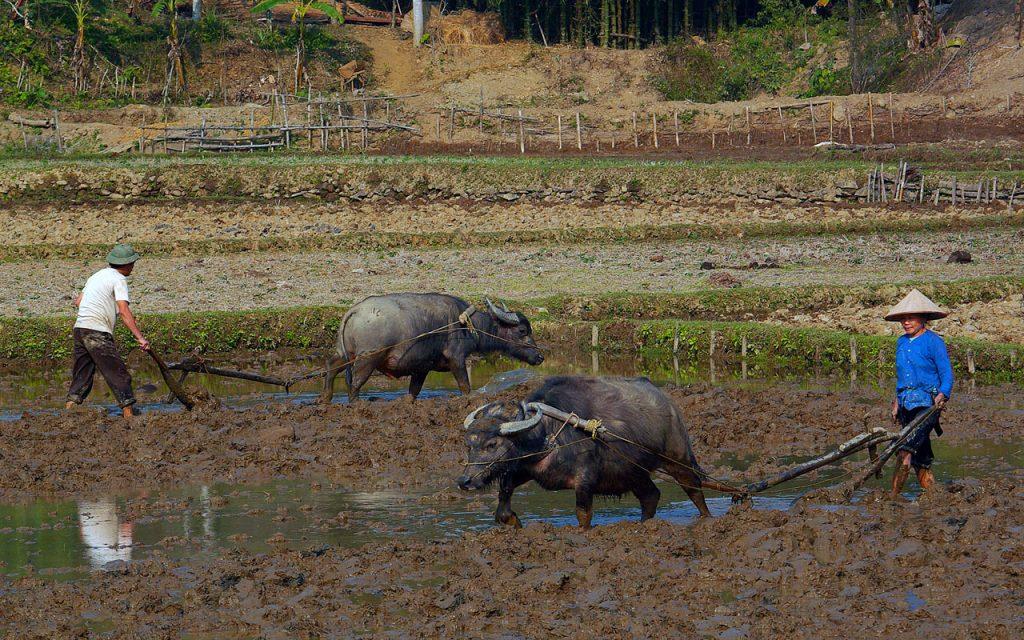Buffels aan het werk tijdens de motorreis door Noord-Vietnam met Travel2Explore